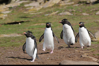 2010_01_03_Falkland Islands_Saunders Island_Rockhopper Penguin - 104