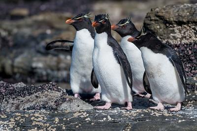 Rockhopper penguin, Eudyptes chrysocome