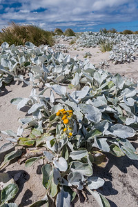 Sea Lion Island, Sea Cabbage