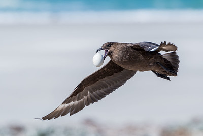 Brown Skua with Penguin Egg, Stercorarius antarcticus