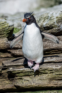Rockhopper penguin, Eudyptes chrysocome