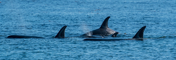 Killer whales, Orcinus orca