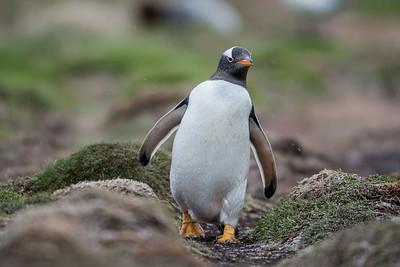 Gentoo Penguin, Pygoscelis papua