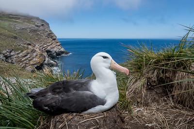 Blackbrowed albatross, Thalassarche melanophris