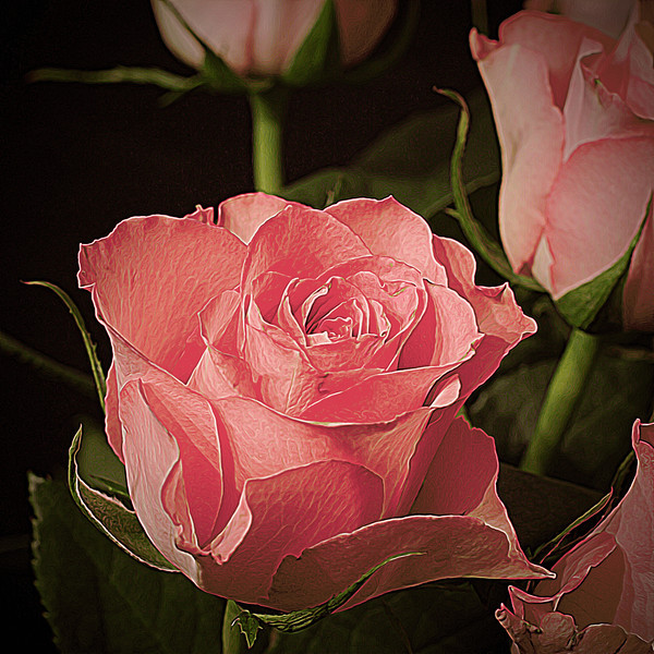 Rosa Rosa Bandet Rosor