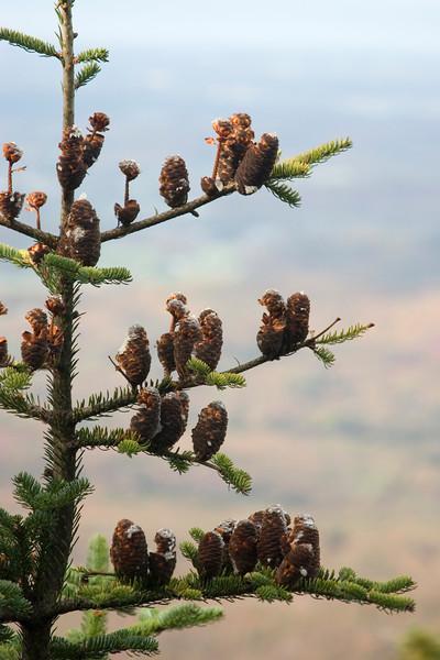 Half-eaten pine cones.
