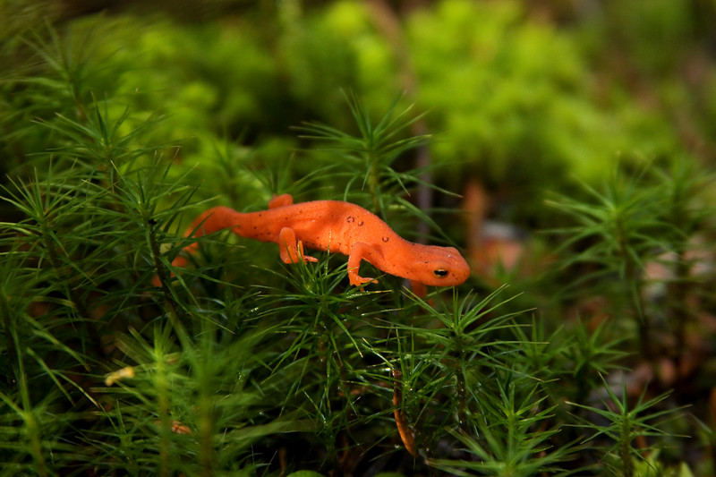 Red spotted newt.