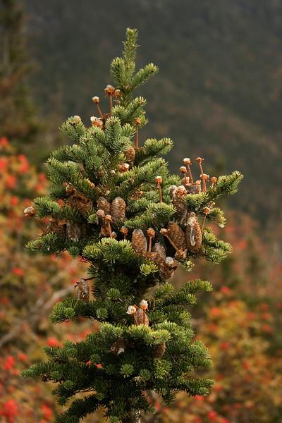 More half-eaten pine cones.