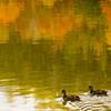 20081004-ducksongoldenpond-1
