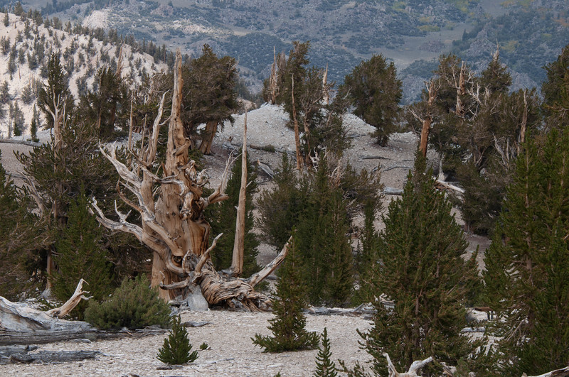 Young and old Bristlecone Pine trees in Patriarch Grove
