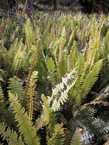 Crown fern in the Oroua