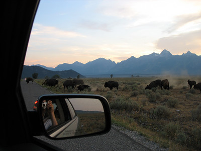 Bison on Antelope Flats Road, Grand Tetons National Park - 2007