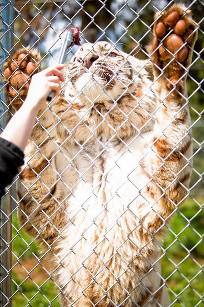 Tarri - 500 pound White Tiger