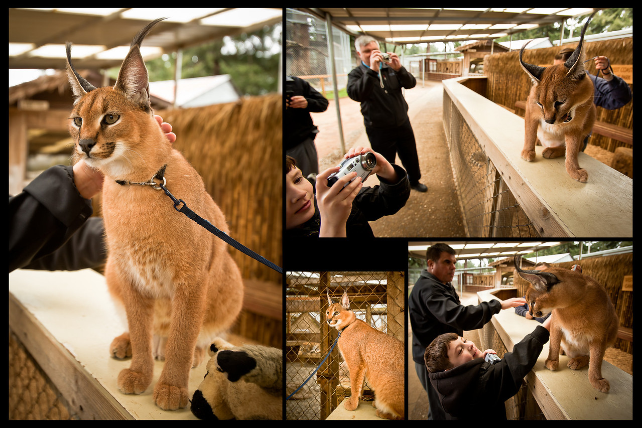 I had never heard of a Caracal before, but it's now one of Samuel's favorite cats.<br> http://en.wikipedia.org/wiki/Caracal<br> This one is 9 months old, and still has its baby fur.