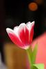 Den Hague Tulip