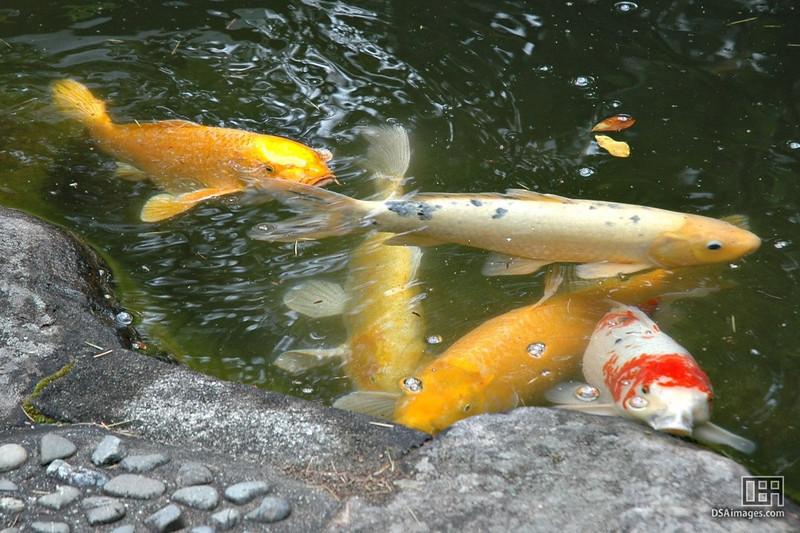 Fish in the garden's pond.
