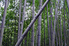 Whispering Leaves<br /> <br /> Location pictured :: Arashiyama Bamboo Forest, Kyoto<br /> <br /> 012013_008013 ICC sRGB 16in x 24in pic