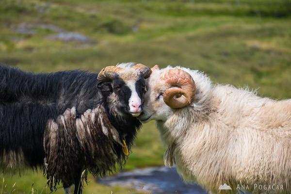 A couple of sheep near Risin and Kellingin, sea stacks off the northern coast of  Eysturoy
