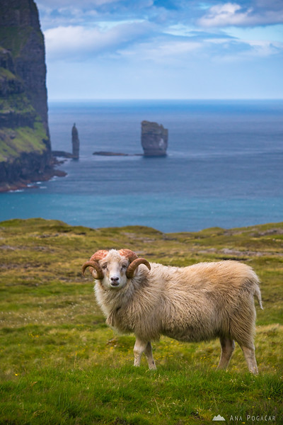 Risin and Kellingin, sea stacks off the northern coast of  Eysturoy, and a sheep