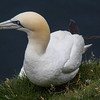 Gannets on the cliffs of Mykiness