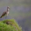 Whimbrel, a member of the curlew genus