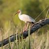 White Ibis, Brazos Bend St. Park