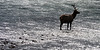 Elk Bull, Athabasca River, Jasper, Canada