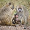Baboons, Amboselli, Kenya