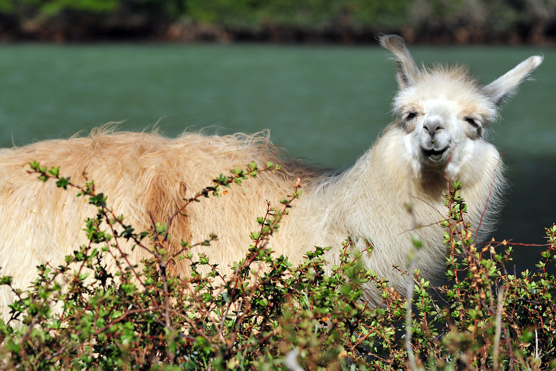 Smiling Llama, FRAC, Argentina