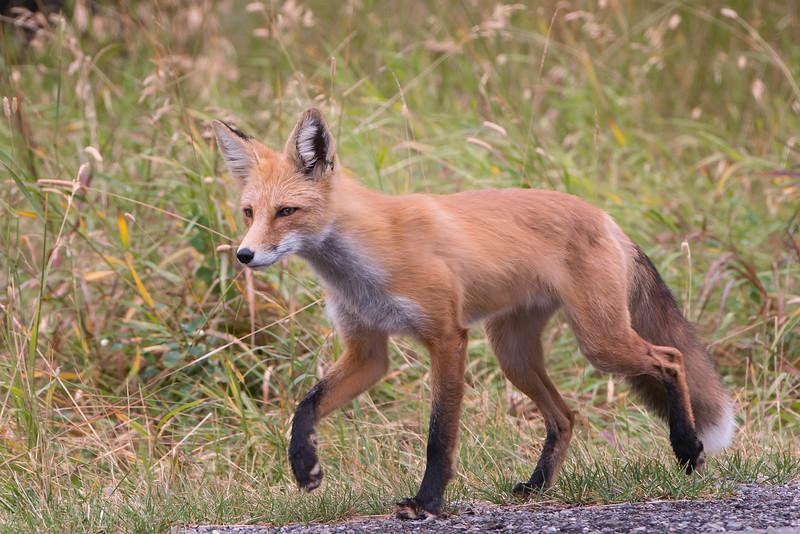 Fox at Waterton, Alberta, Canada