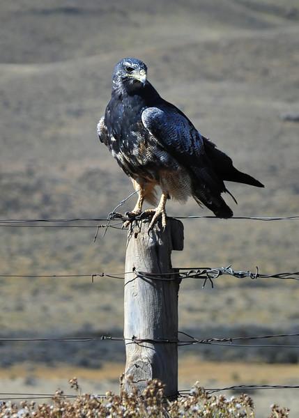 Patagonia Eagle