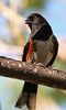 Spotted Towhee, or so I was told by a friend. Taken in a local tree  by the Lake - John Brody Photography - JohnBrody.com