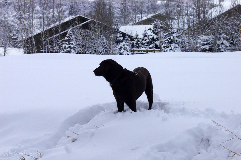 A great black lab lab in Park City Utah after a spectacular snowfall - JohnBrody.com / John Brody Photography