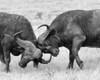 Cape Buffalo, Amboselli, Kenya