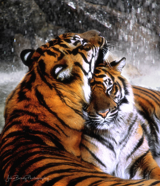 Tiger romance - These two stunning Sumatra Tigers, resting in front of a waterfall, were getting quite affectionate for about 10 minutes. Then a squirrel ran by, and the male chased him 20 feet up a tree... Typical :)   -  JohnBrody.com / John Brody Photography
