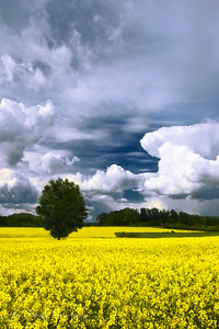 Yellow Canola Fields Under Cloud Cover at France / Belgium Border - JohnBrody.com / John Brody Photography / JohnBrodyPhotography.com