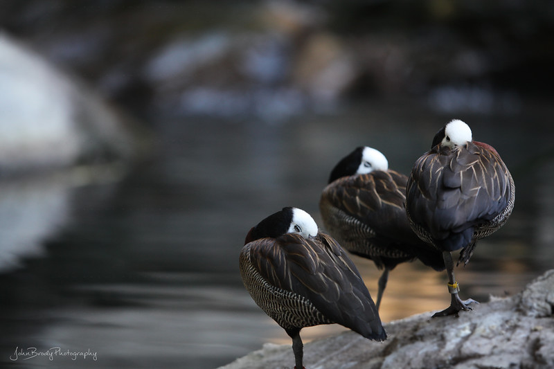 White-Faced Whistling Ducks Resting By A Pond - JohnBrody.com / John Brody Photography
