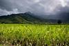 Taro Field, Kauai