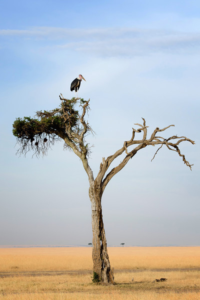 Marabou Stork, Masai Mara