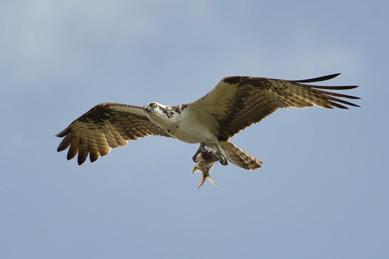 Osprey's meal.  Everglades, Florida