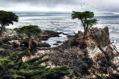 The Lone Cypress in Carmel California on the famous 17 Mile Drive - One of the prettiest areas in California.