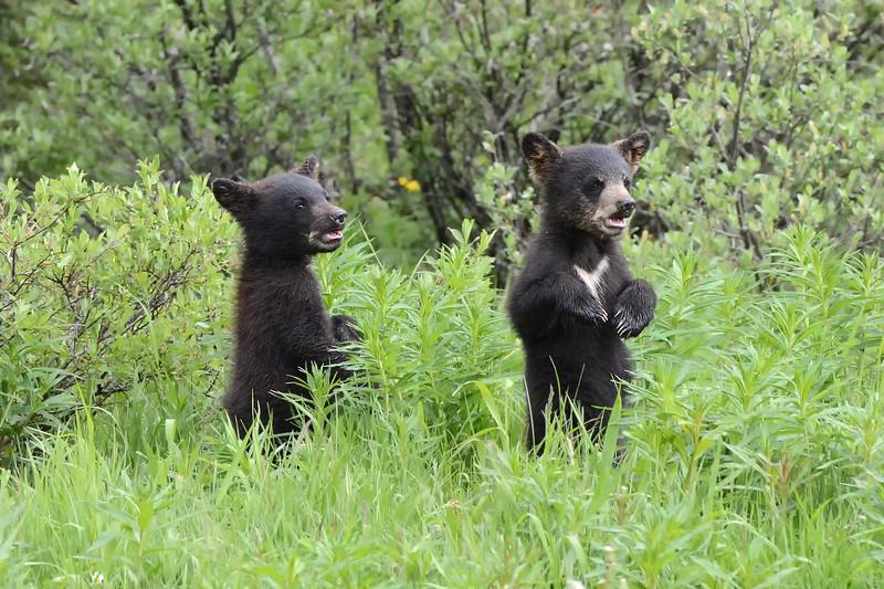 Bear Cubs, Canadian Rockies