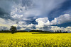 Yellow Fields Under Cloud Cover in Northern France - JohnBrody.com / John Brody Photography