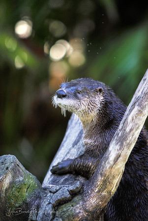Otter Posing during a  rare moment standing still. I waited for ages while he swam and dove and chased his friends, Finally he climbed a stunt and posed perfectly in front of some bokeh creating sunlit leaves. All in all I think it was worth itt :)   -   John Brody Photography