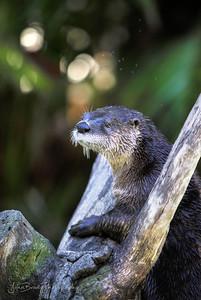 OtterPosing - A rare Moment Standing Still   -   John Brody Photography