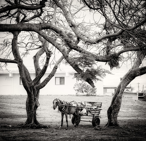 The Horse Between the Trees (BW)