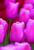 Tulip macro taken during a break in the rain at Keukenhof Tulip Gardens in South Holland in the small town of Lisse. A beautiful location a short drive southwest of Amsterdam - John Brody Photography - JohnBrody.com