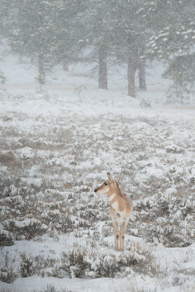 Pronghorn, Bryce Canyon