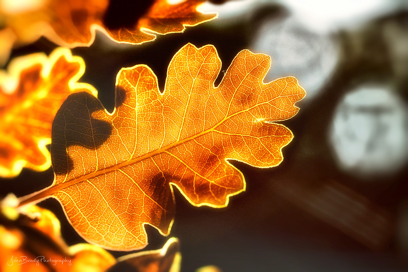 Autumn Colored Leaf by the Pond - Simple shot of a backlit leaf with water droplet bokeh in the background.  Big image but a tiny leaf, maybe an inch at most. Landscape Orientation - John Brody Photography / JohnBrody.com
