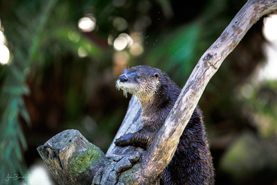 North American River Otter - Shot Using Canon EOS 5D Mark II and a Canon EF 70-200 f/2.8 IS L-Series USM lens - JohnBrody.com / John Brody Photography
